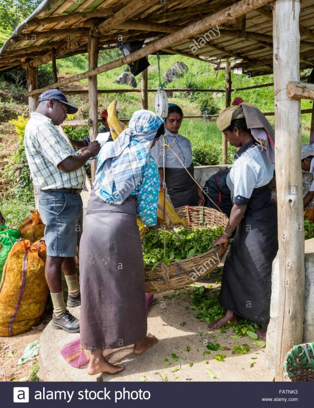 tea-weighing-at-tea-estate-near-norwood-sri-lanka-women-pickers-watch-FATNK3[1]